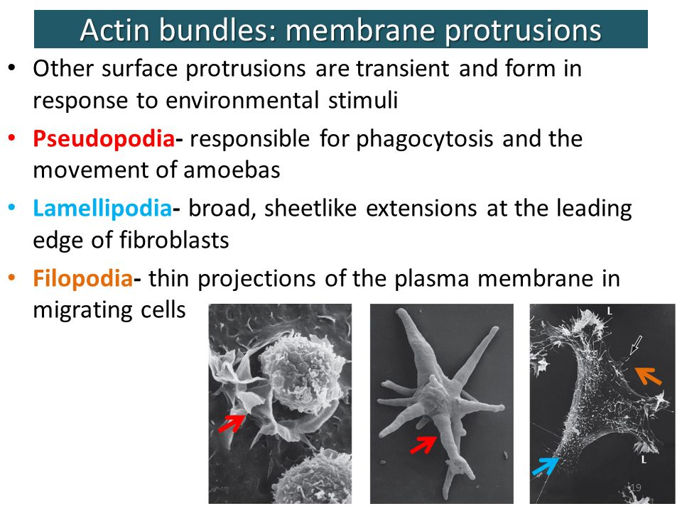 projections of the plasma membrane Study biology chapter 5 flashcards at proprofs - membrane structure and function related flashcards the carbohydrate chain projection for the plasma membrane are involved in a adhesion between cells b reception of molecules c cell to cell recognition d.