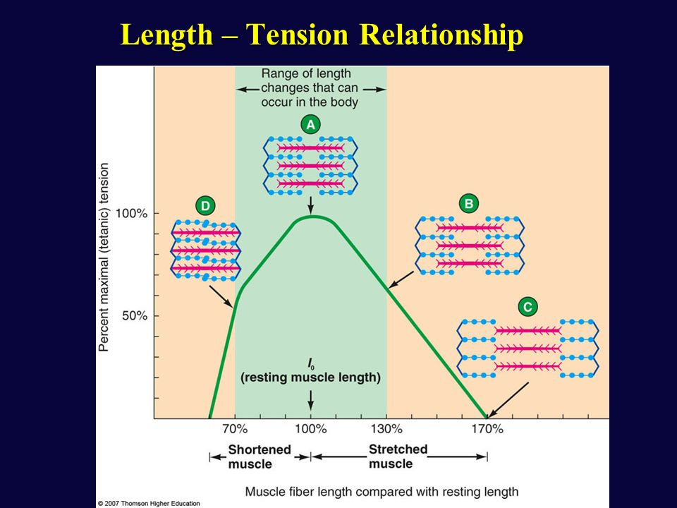 muscle length and tension relationship