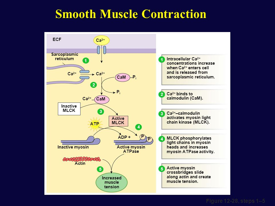 Muscle Physiology. - ppt video online download