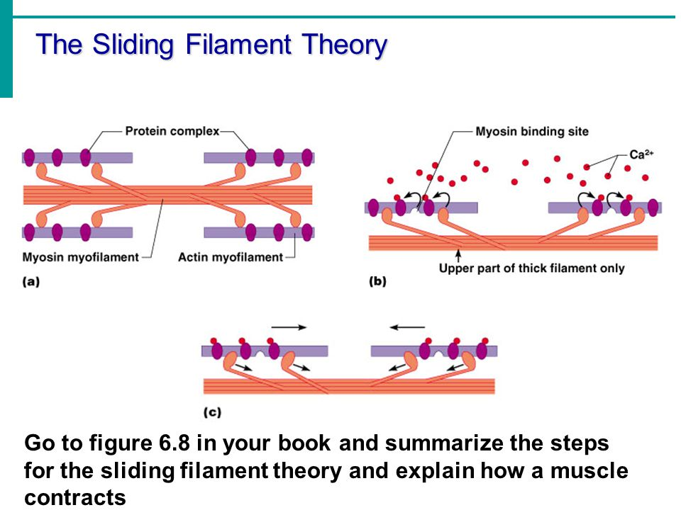 muscles and the sliding filament theory The sliding filament theory of muscle contraction the fine structure of a muscle fiber controls contractions  muscles contract due to a sliding filament.