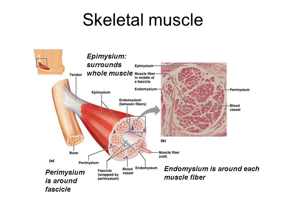 Magnificent Skeletal Muscle Labeled Pattern - Anatomy And Physiology ...