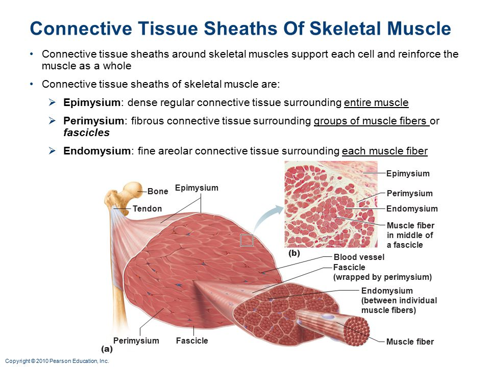organization of muscle tissue Human anatomy & physiology, 7e (marieb) chapter 9 muscles and muscle tissue 280 44) the giant protein titin maintains the organization of the.