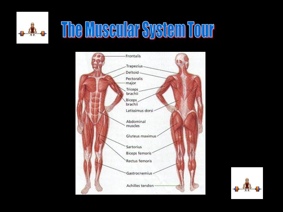 The Muscular System Tour Ppt Video Online Download