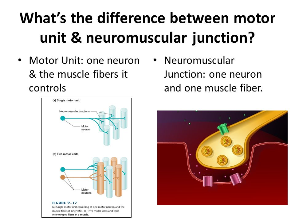 What have we been learning ppt download – Neuron and Neuromuscular Junction Worksheet