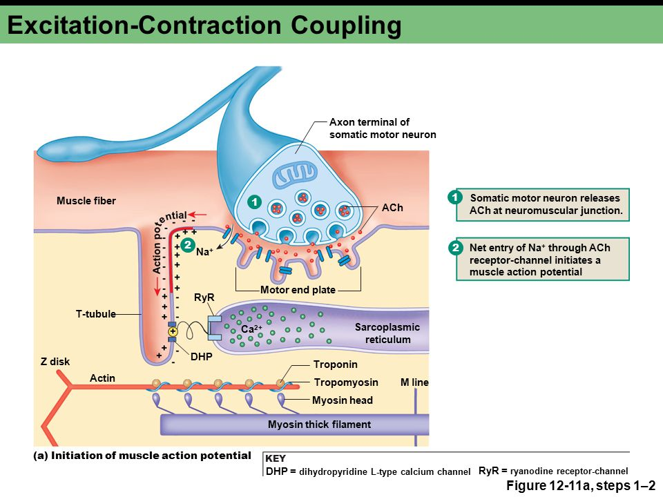 muscle contraction excitation Describe the components involved in a muscle contraction explain how muscles contract and relax describe the sliding filament model of muscle contraction.