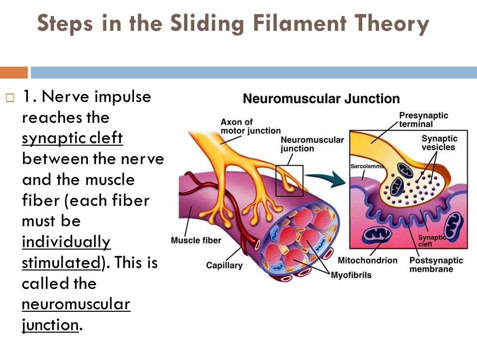 sliding fillamennt worksheet A worksheet aimed at advanced biology students, this resource provides a table with screenshot diagrams from an online animation that explains how the sliding filament theory works.