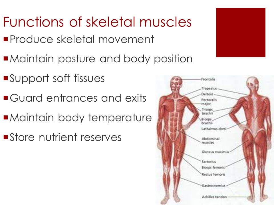 skeletal muscle unit chapter ppt video online download, Muscles