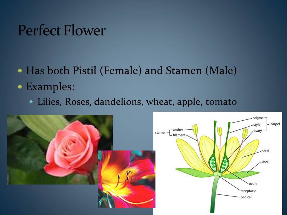 Perfect Flower Has both Pistil (Female) and Stamen (Male) Examples: