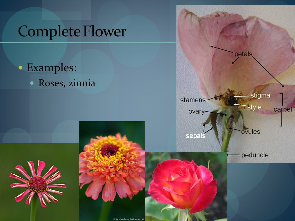 Complete Flower Examples: Roses, zinnia
