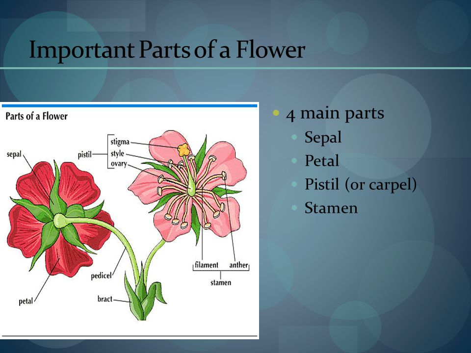 Important Parts of a Flower