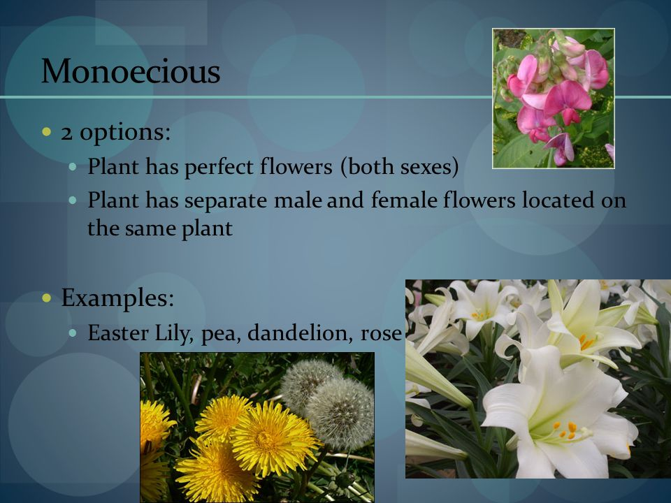 Monoecious 2 options: Examples: Plant has perfect flowers (both sexes)