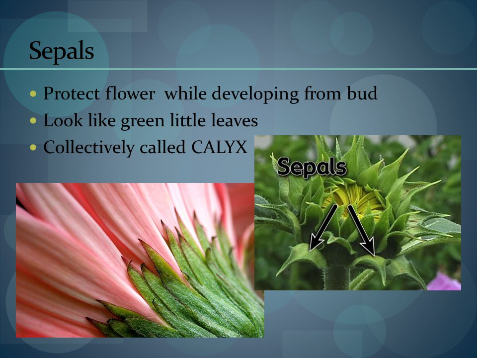 Sepals Protect flower while developing from bud