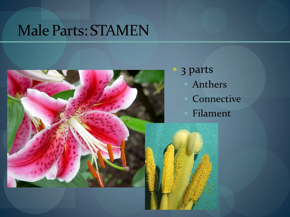 Male Parts: STAMEN 3 parts Anthers Connective Filament