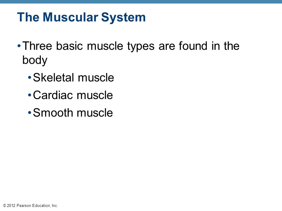 the three main types of muscles in the muscular system Here is some information about the muscular system: not all muscles in your  body are the same muscles are organized into three different groups these are.