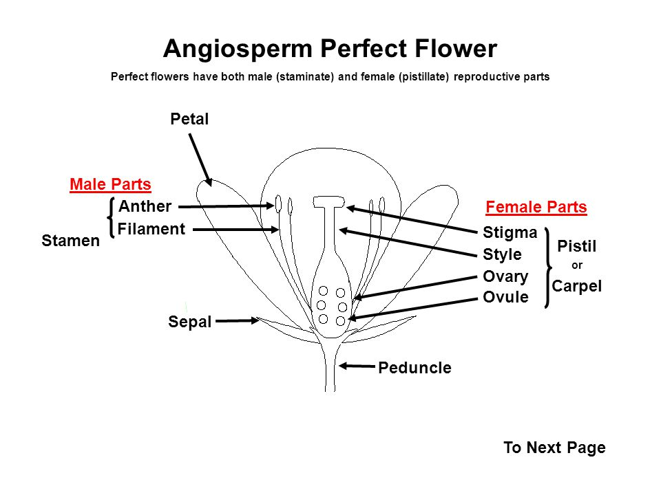 Angiosperm perfect flower ppt video online download angiosperm perfect flower ccuart Choice Image