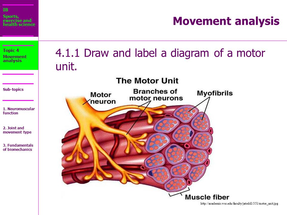 simple motor unit diagram 4.1.1 draw and label a diagram of a motor unit. - ppt ...