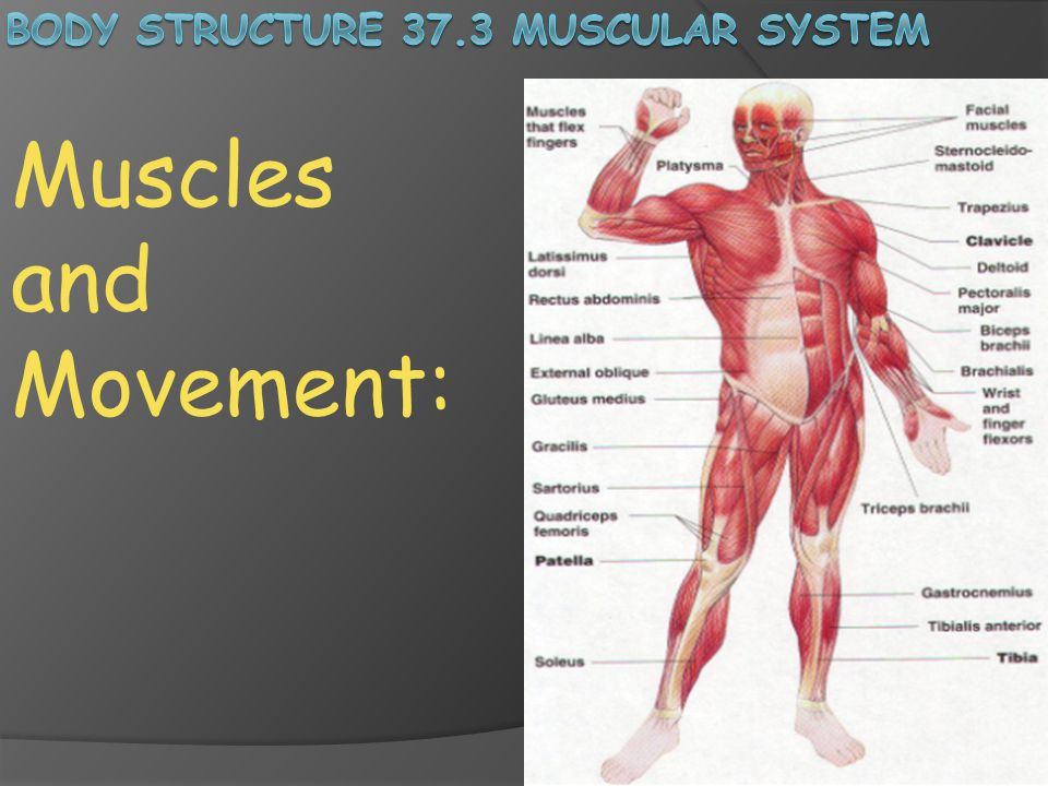 body structure 37.3 muscular system - ppt download, Muscles