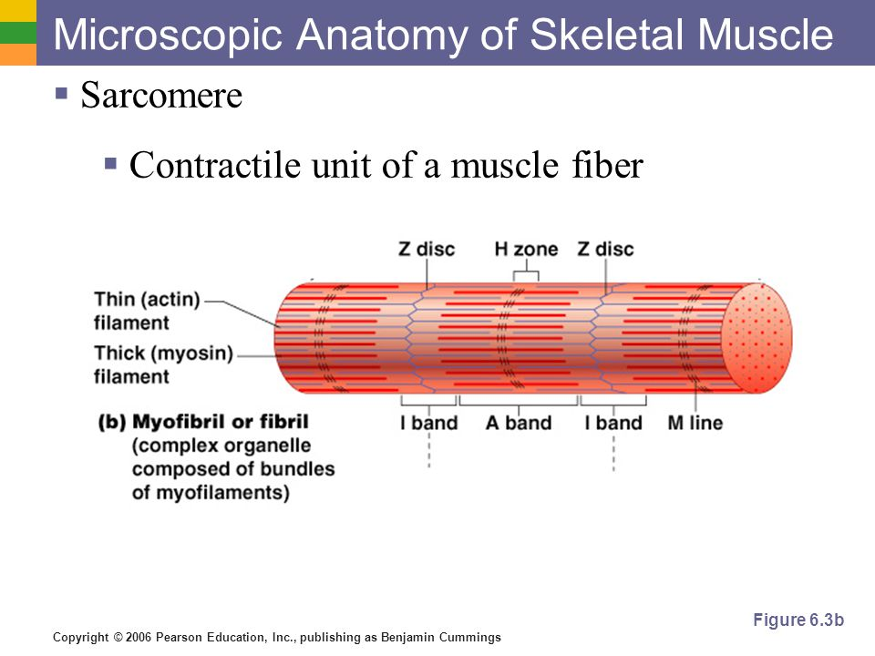 Microscopic Anatomy Of Skeletal Muscle Image Collections Human