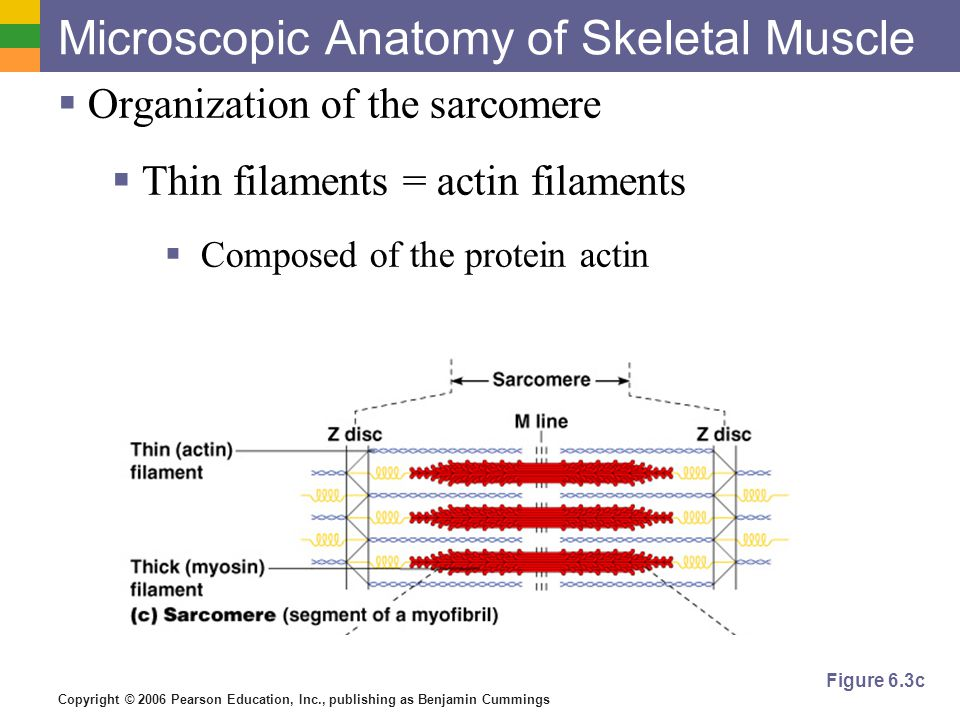 microscopic anatomy and organization of skeletal muscle Download and read microscopic anatomy and organization of skeletal muscle microscopic anatomy and organization of skeletal muscle read more and get great.