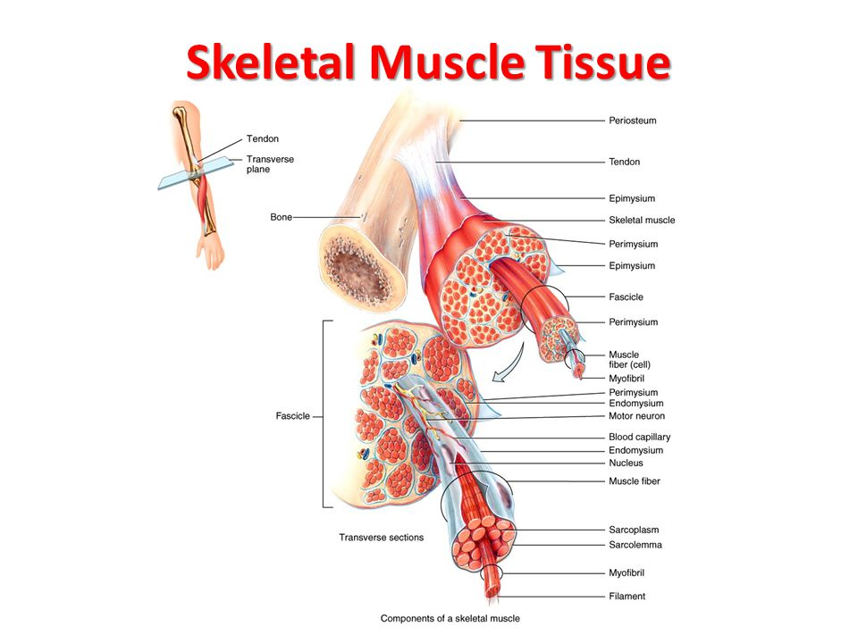 histology of muscle. - ppt video online download, Human Body