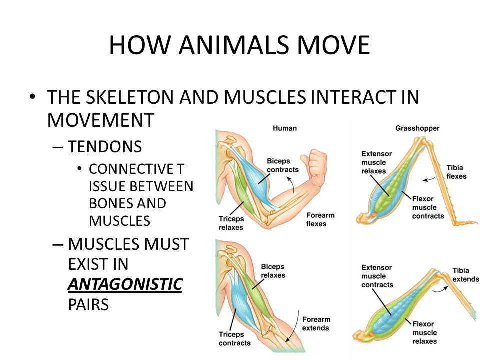 Interconnection between inner thigh and sciatic nerves