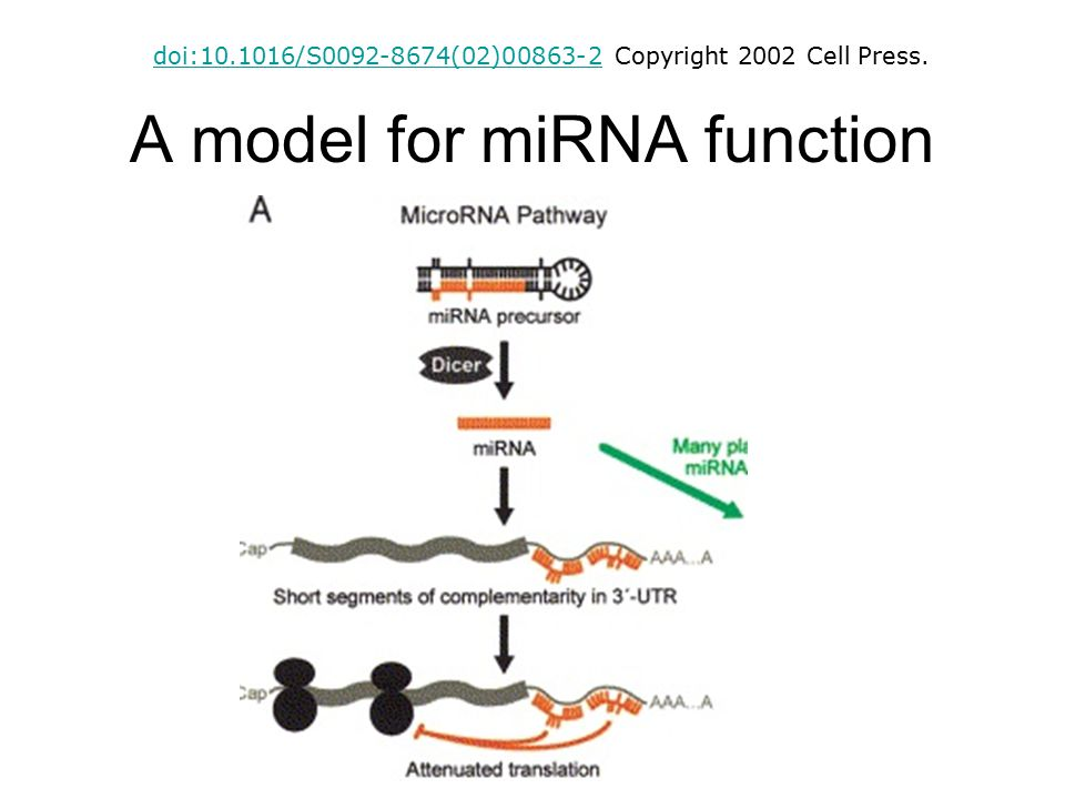 A model for miRNA function