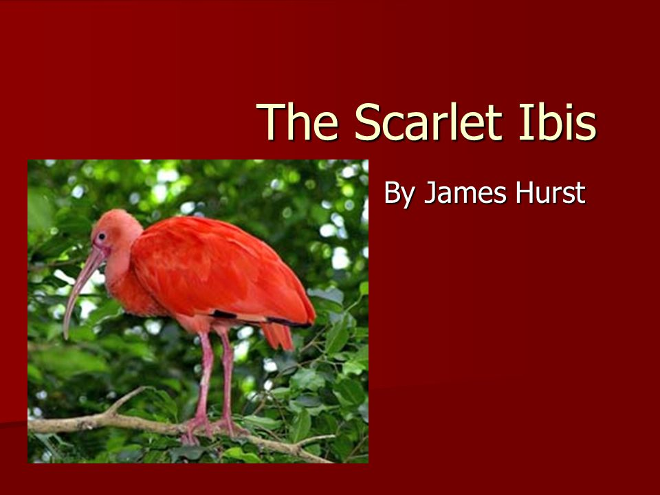 the scarlet ibis by james hurst Manifest within the narrator, brother, in james hurst's short story the scarlet ibis this the scarlet ibis scarlet letter essay the scarlet ibis.