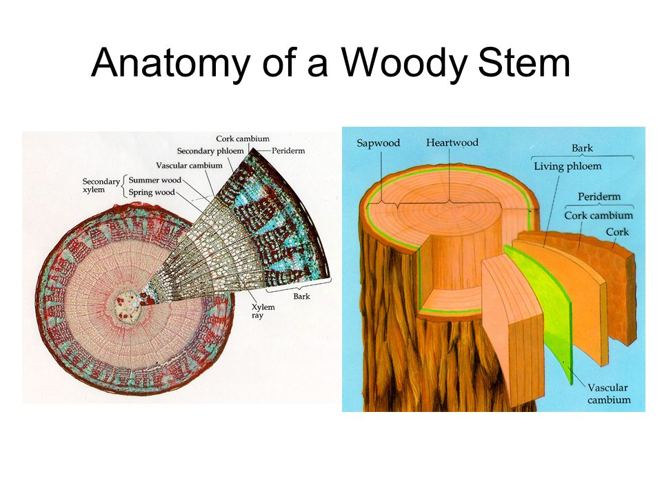 cork cambium Definition as written by tig: a lateral ring of meristematic tissue found in woody seed plants, producing cork on the outside of the ring and parenchyma on the inside of the ring also called phellogen the function of cork cambium is to produce the cork, a tough protective material.