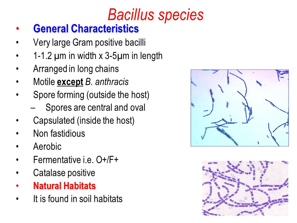 systematic identification of bacillus subtilis and Bacillus subtilis is a sporulating gram-positive bacterium that lives primarily in the soil and associated water sources whilst this bacterium has been studied extensively in the laboratory, relatively few studies have been undertaken to.