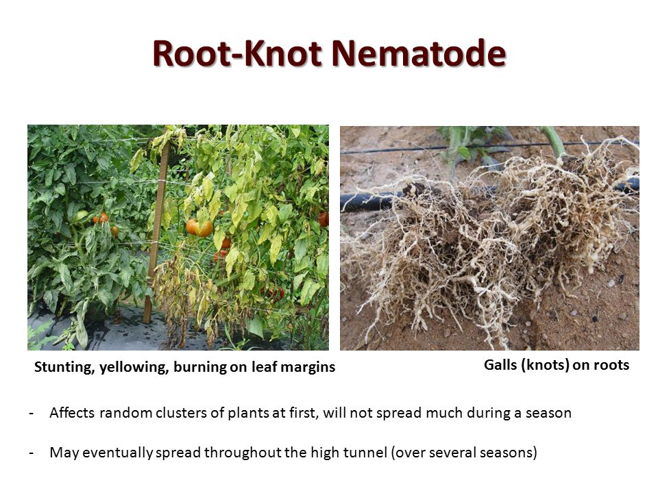 Root-Knot Nematode Stunting, yellowing, burning on leaf margins