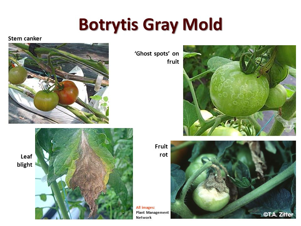 Botrytis Gray Mold Stem canker 'Ghost spots' on fruit Fruit rot