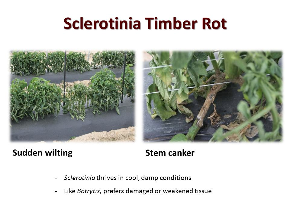 Sclerotinia Timber Rot