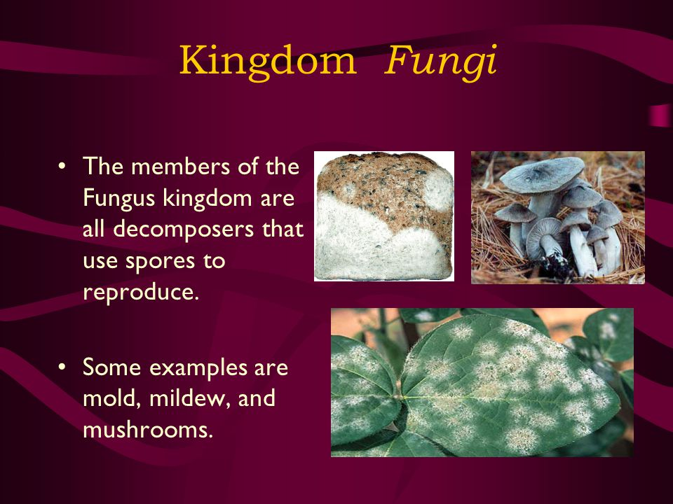 Kingdom Fungi The members of the Fungus kingdom are all decomposers that use spores to reproduce.