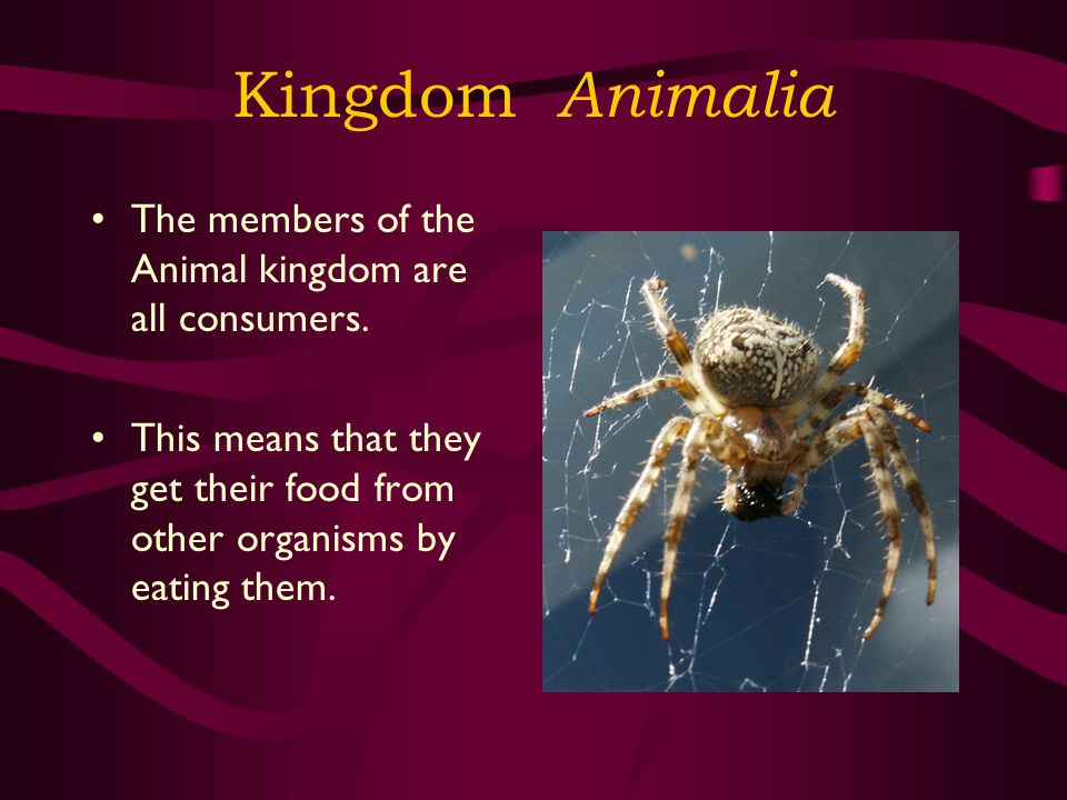 Kingdom Animalia The members of the Animal kingdom are all consumers.