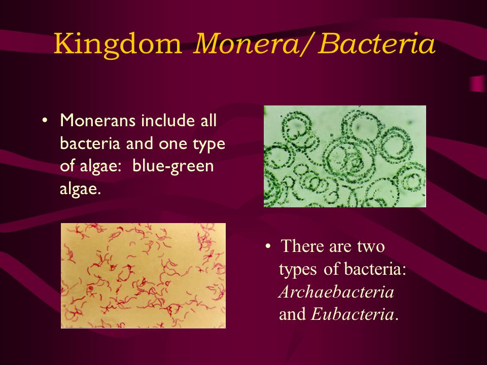 Kingdom Monera/Bacteria