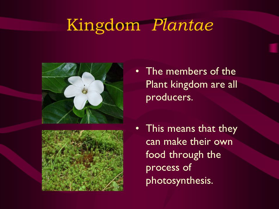 Kingdom Plantae The members of the Plant kingdom are all producers.
