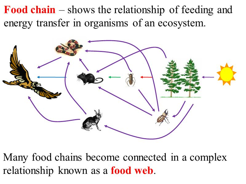 Food chain – shows the relationship of feeding and energy transfer in organisms of an ecosystem.