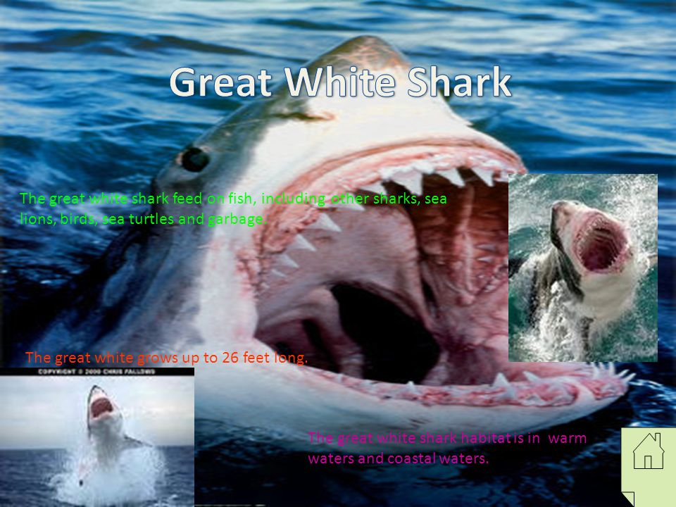 Great White Shark The great white shark feed on fish, including other sharks, sea lions, birds, sea turtles and garbage.