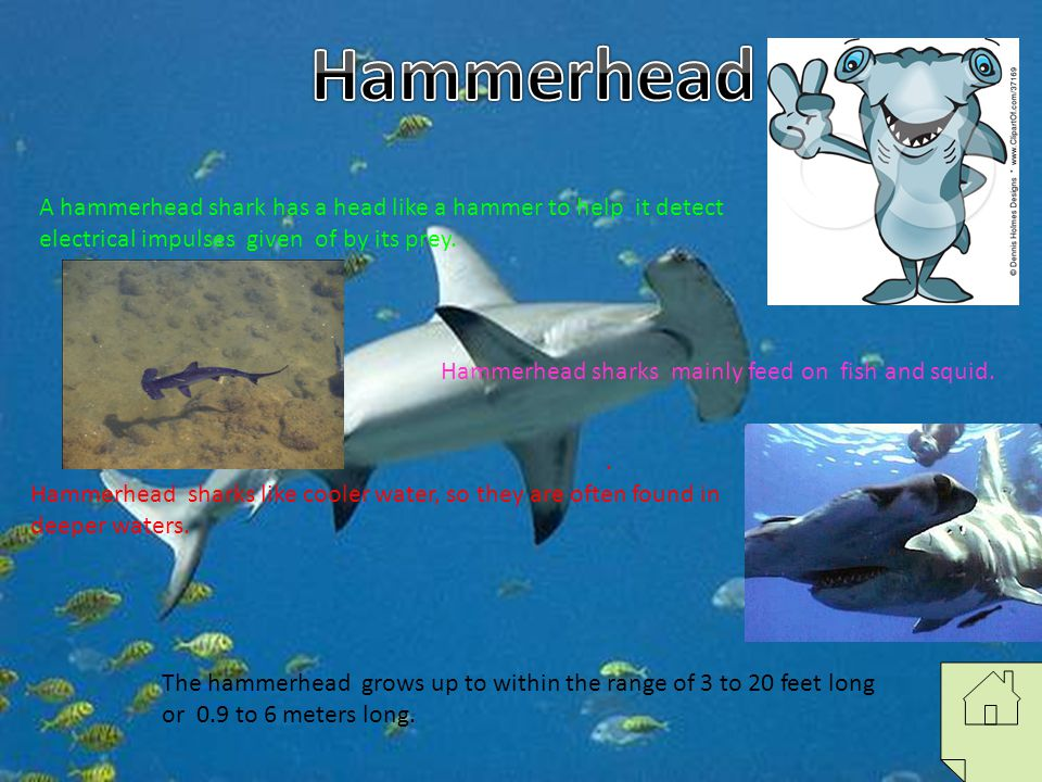 Hammerhead A hammerhead shark has a head like a hammer to help it detect electrical impulses given of by its prey.