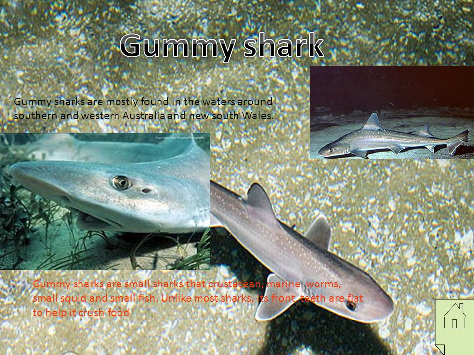 Gummy shark Gummy sharks are mostly found in the waters around southern and western Australia and new south Wales.