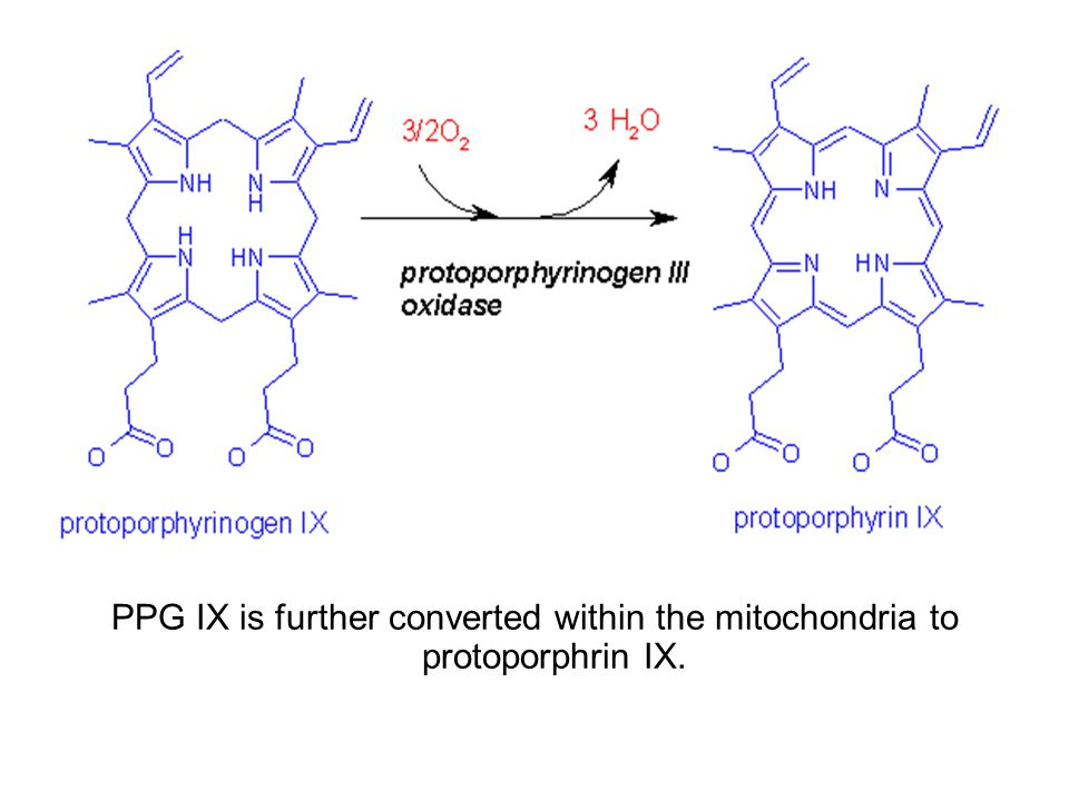 PPG IX is further converted within the mitochondria to protoporphrin IX.