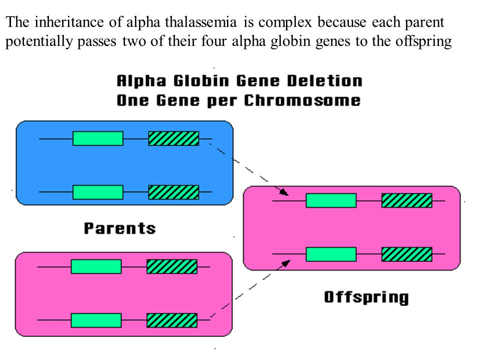 The inheritance of alpha thalassemia is complex because each parent potentially passes two of their four alpha globin genes to the offspring