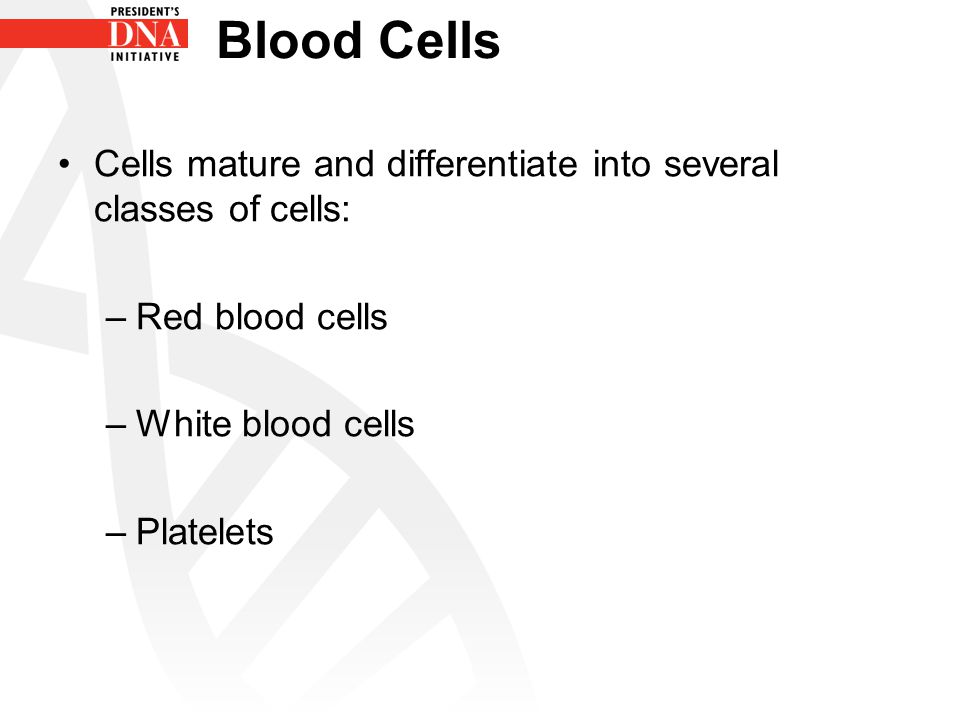 Blood Cells Cells mature and differentiate into several classes of cells: Red blood cells. White blood cells.