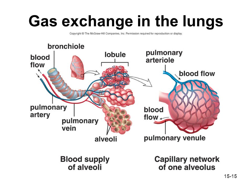 Chapter 15 respiratory system ppt video online download the lungs consist of alveoli surrounded by an extensive capillary network notice that the pulmonary artery carries o2 poor blood colored blue ccuart Choice Image
