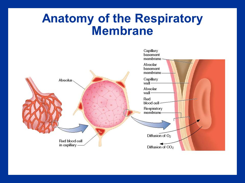 Anatomy Of The Respiratory Membrane