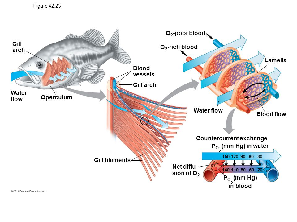 Gas exchange supplies o2 for cellular respiration and for Arches related to breathing gills in fish