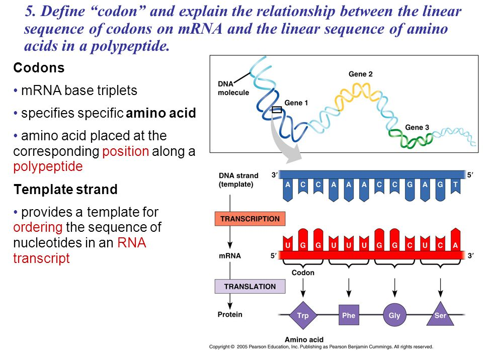 difference between template and coding strand - magnificent define dna template composition example