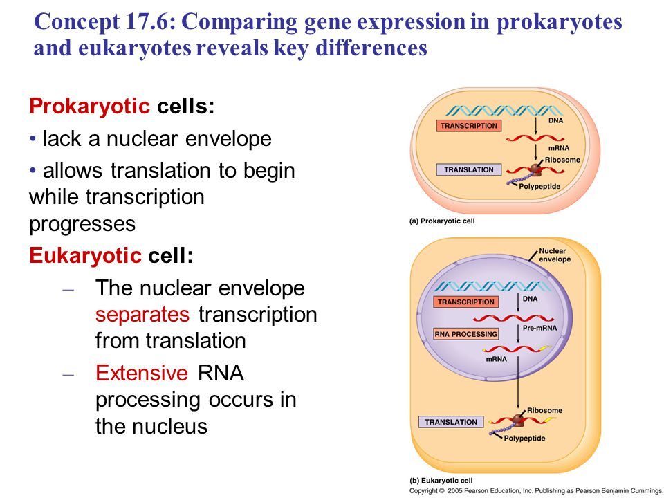 difference between gene regulation in eukaryotes 4 gene regulation in prokaryotes site a a site b b a b a b figure16-3 interactions between proteins bound to dna (a) cooperative.