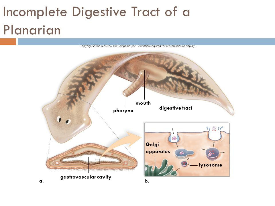 Digestion absorption ppt video online download incomplete digestive tract of a planarian ccuart Choice Image