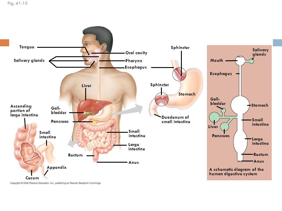 Digestion absorption ppt video online download 23 fig ccuart Image collections